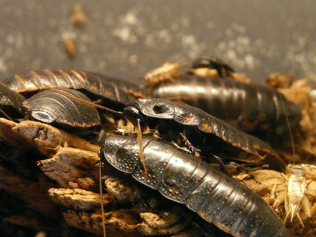 I vari tipi di blatte che possono infestare le nostre case